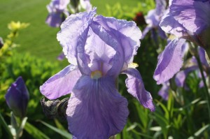 Iris gros plans
