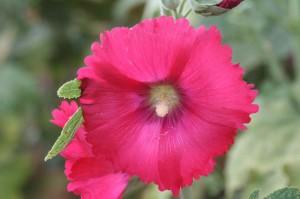 rose trémière rose foncé