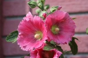 rose trémière rose