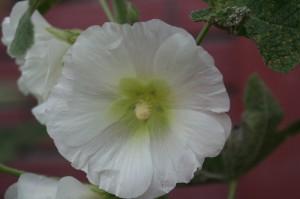 rose trémière blanche