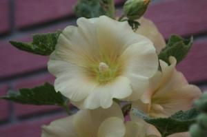 rose trémière jaune