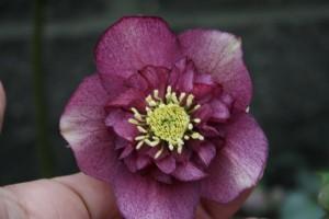 rose coeur anémone