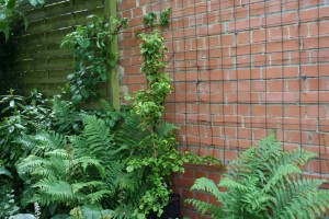 hydrangea petiolaris panaché