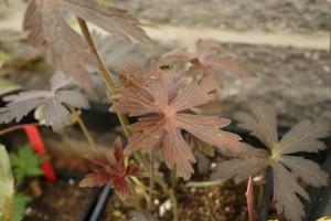 geranium maculatum Espresso