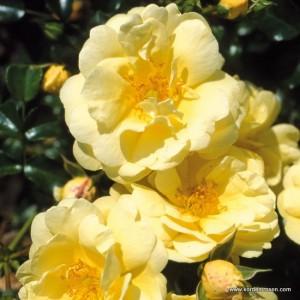 sunny-rose_kordes