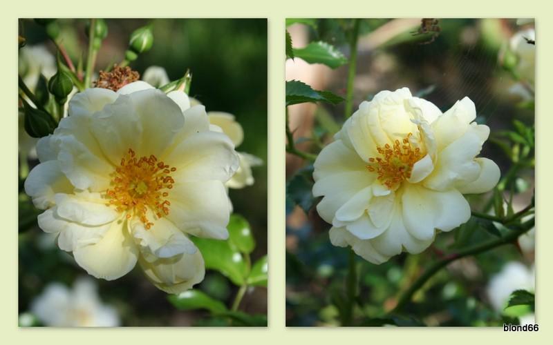 rosier Sunny rose