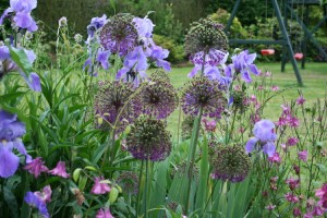 allium purpre sensation