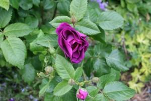 rosier Rhapsody in blue