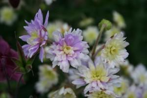 """Geranium """"Summer Skies"""""""