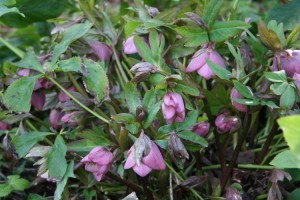 hellebore rose simple