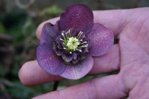 hellebore pourpre coeur anemone