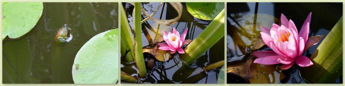 L comme Lotus