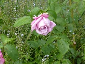 """rosier """"Charles de Gaulle"""""""