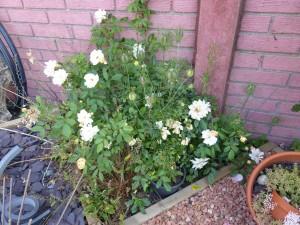 rosier phyllis bide