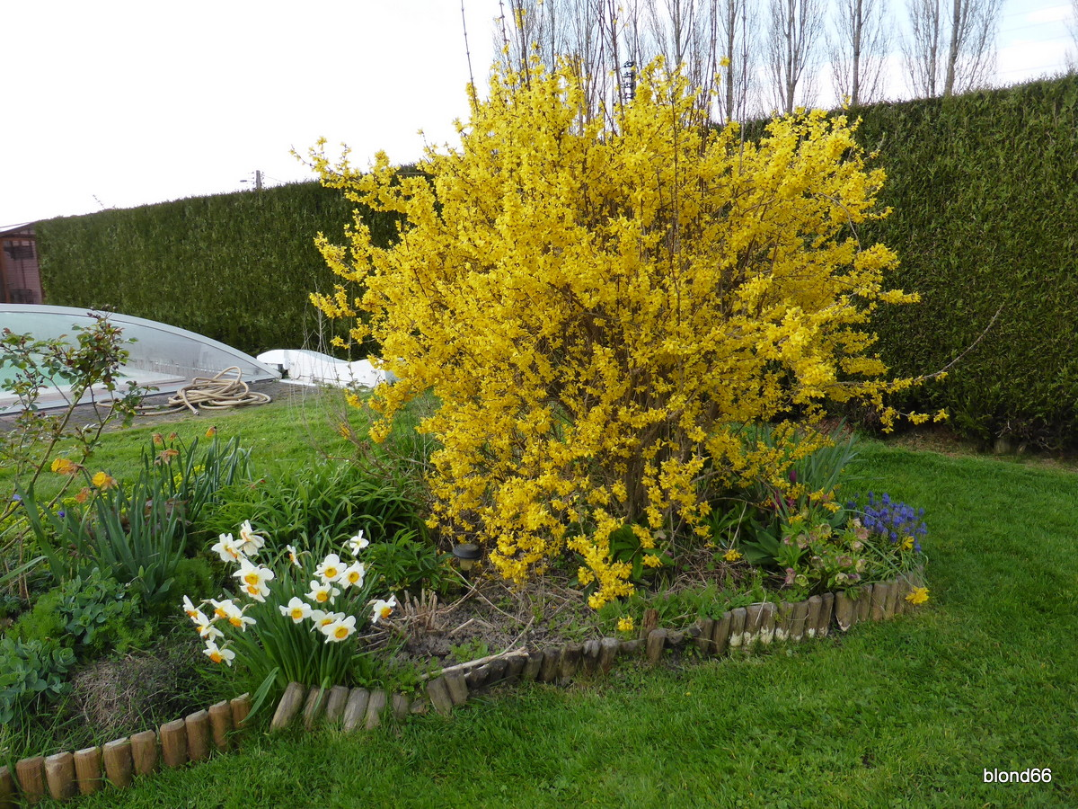 jaune Forsythia