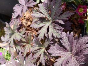 """geranium """"Hocus Pocus"""""""