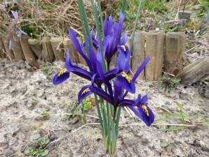 iris-reticulata-bleu