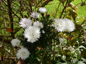 aster blanc double