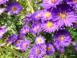 Aster violet foncé