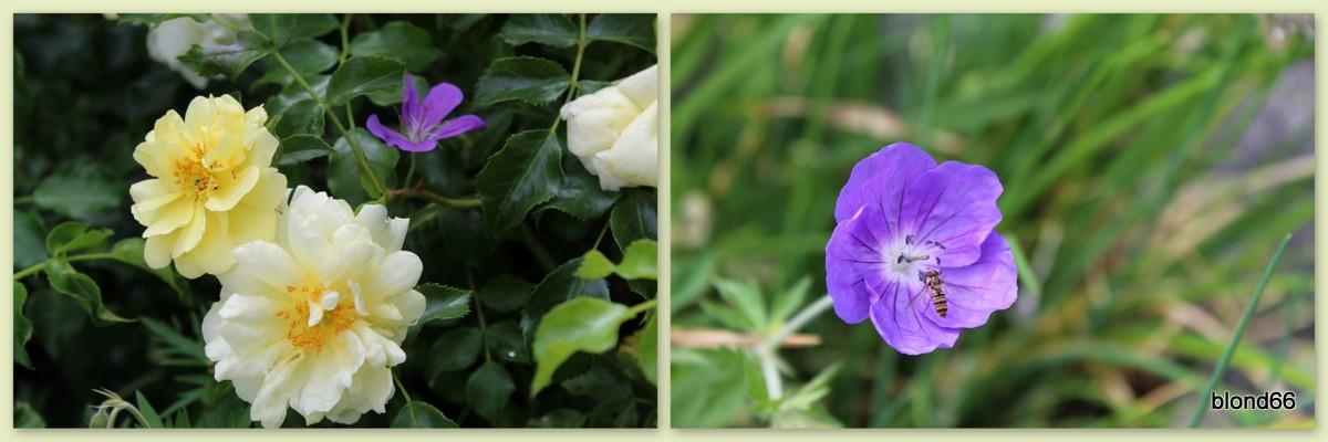 """Rosier """"Sunny Rose"""""""